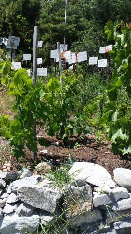 La plus petite vigne au monde: La Vigne à Farinet. Photo: Voix d'Exils